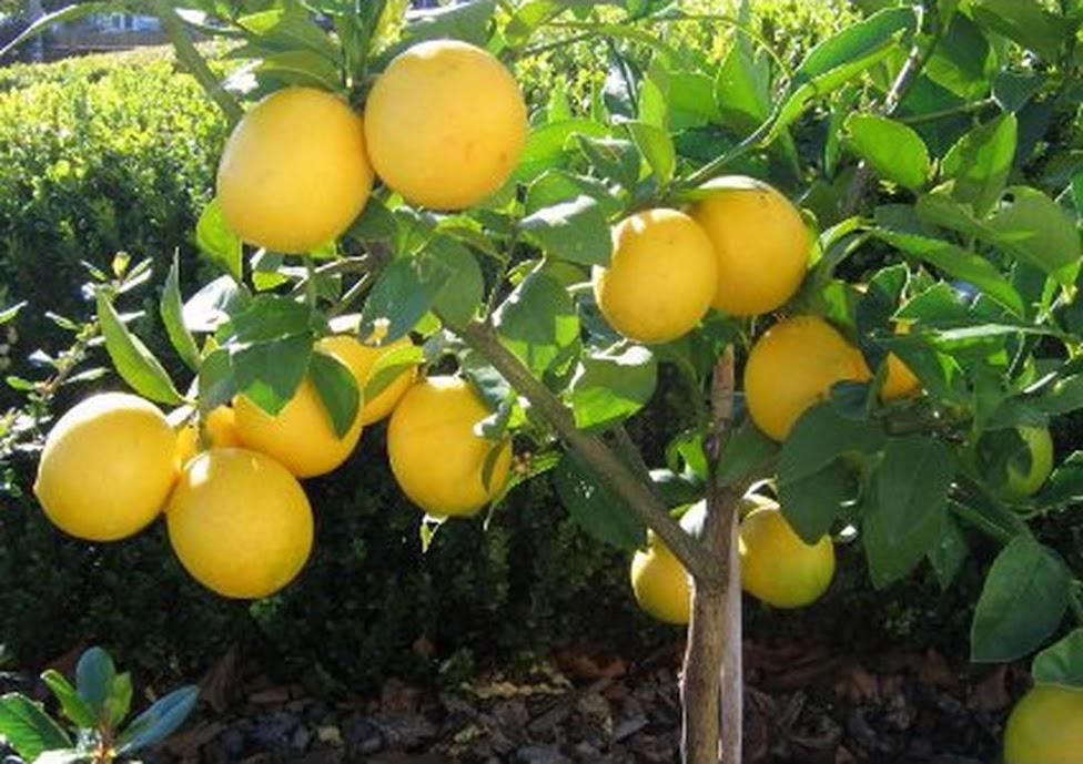 Amefurashi Bibit Benih Seed Buah Jeruk Lemon Import Nusa Tenggara Barat