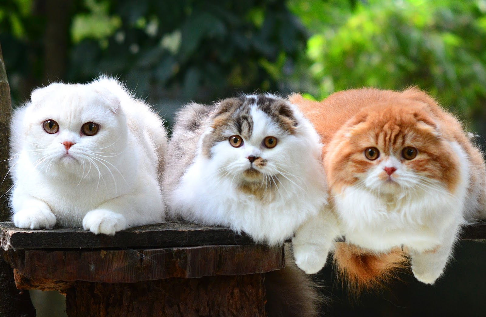 Sukses Beternak Kucing Ras Kumpulan Artikel Kucing Perawatan Kucing 10 Kucing Ter Favorit Di Indonesia Th 2017