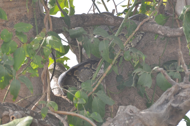 African Python Tembea Tanzania Mikumi National Park