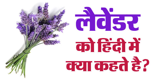 Lavender in Hindi