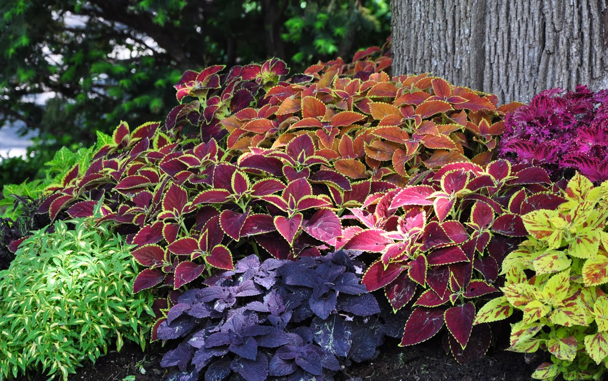 Personally I Like Coleus, But It Never Occurred To Me To Use Them In A Mass  Planting As You Would Annual Flowers.