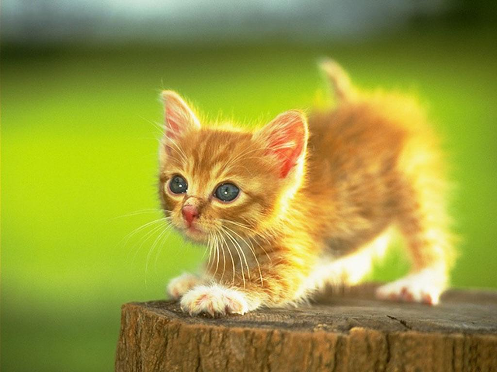 Kittens wallpapers pets cute and docile - Kitten backgrounds ...