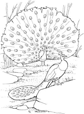 Gambar Mewarnai Burung Merak - 10