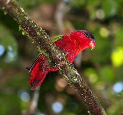 Purple naped Lory