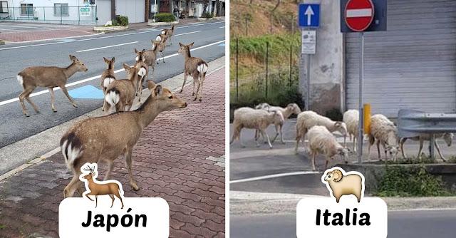 Animales pasean en las calles vacías de las ciudades en cuarentena