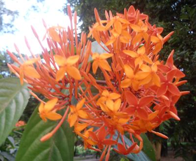 Ixora coccinea: Also known as Jungle geranium flower