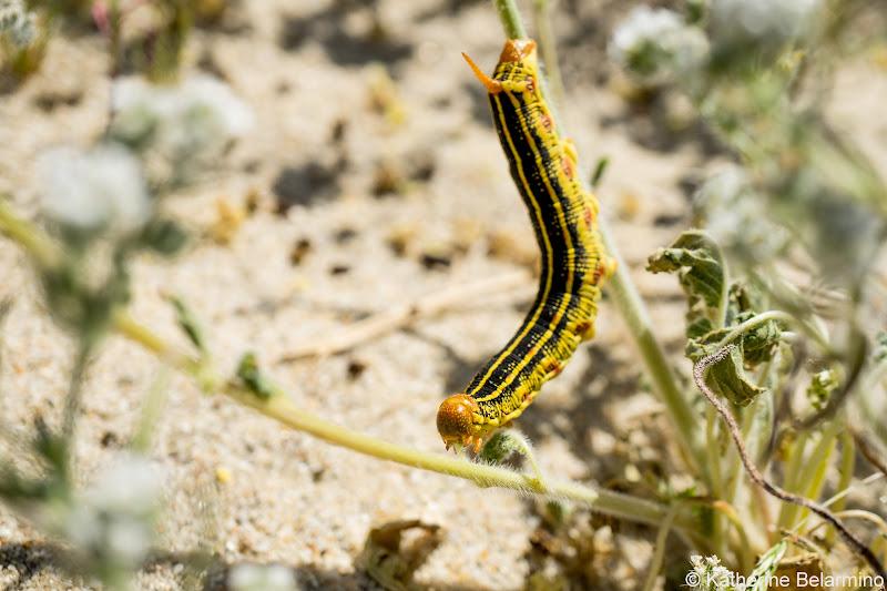 Caterpillar Southern California Anza-Borrego Desert Wildflowers