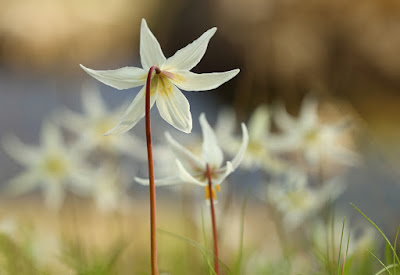 Fawn lilies, wildflowers of the Pacific Northwest. Photo by Andrée Fredette