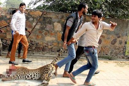 Macan Tutul Dipukul Hingga Mati Saat Memasuki Pemukiman