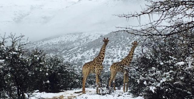 Απίστευτη ξαφνική χιονόπτωση στην νότια Αφρική – Μέχρι και τα άγρια ζώα αναστατώθηκαν (βίντεο)