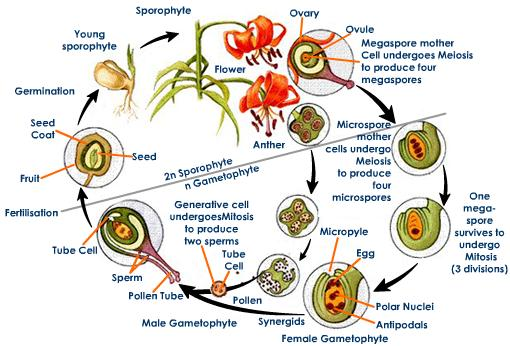 Angiosperm sexual reproduction