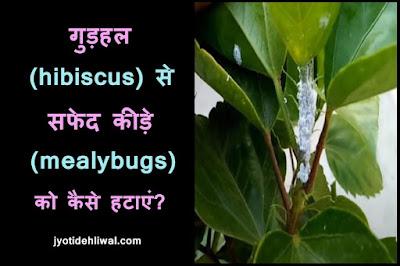 गुड़हल (hibiscus) से सफेद कीड़े (mealybugs) को कैसे हटाएं?