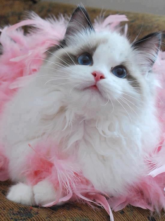 preciosa gatita de ojos azules