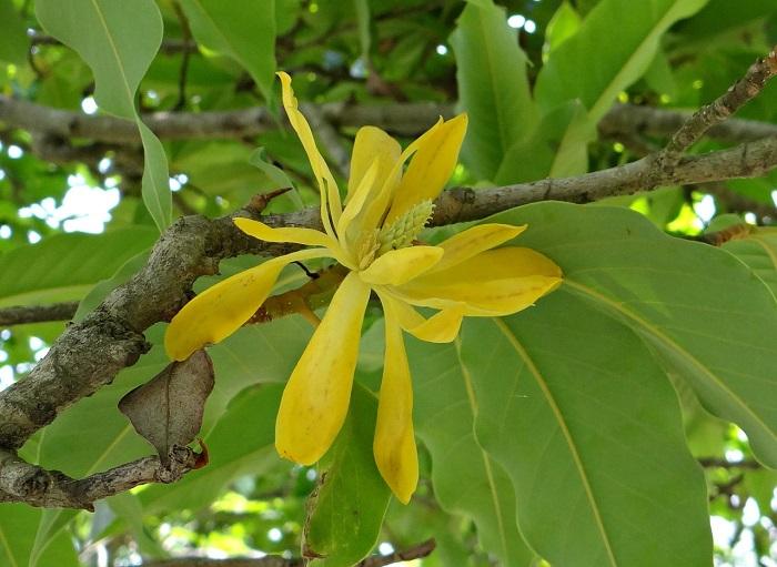 Bunga kantil kuning