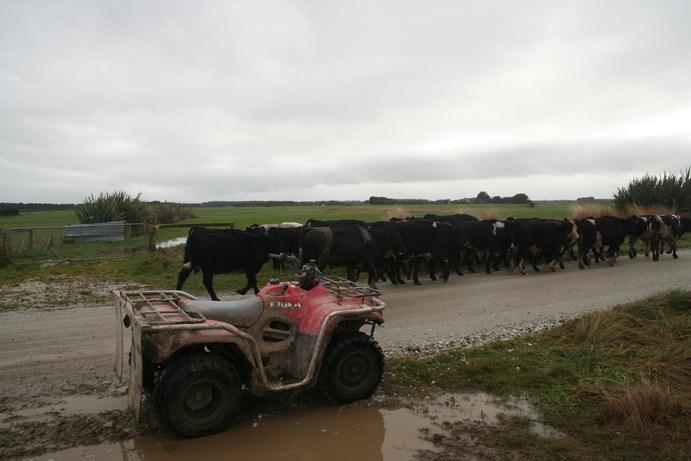 gambaran peternakan di New Zeland selndia baru