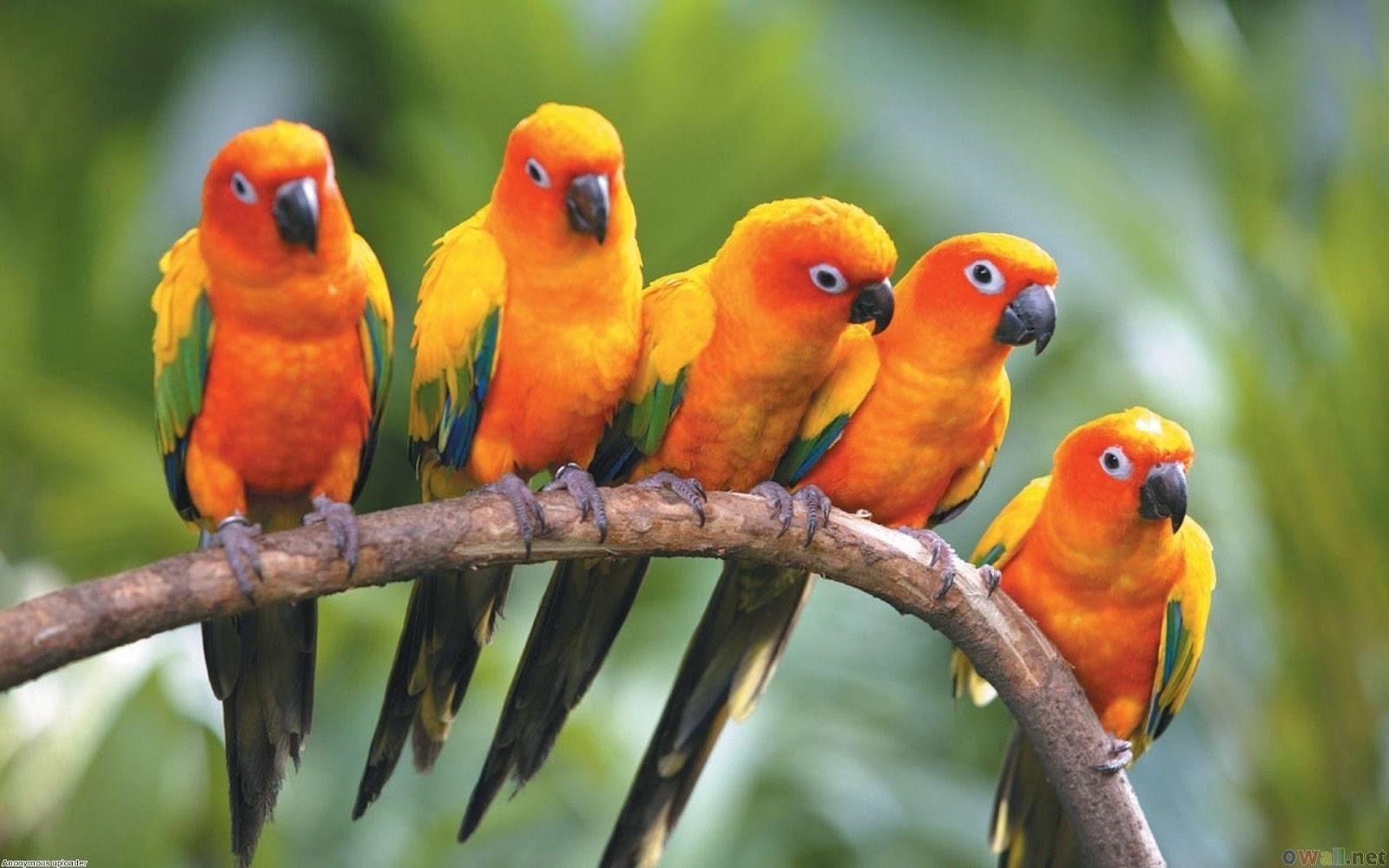 HD Birds Wallpapers parrot bird
