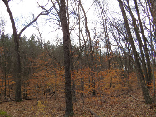 orange oak leaves in understory