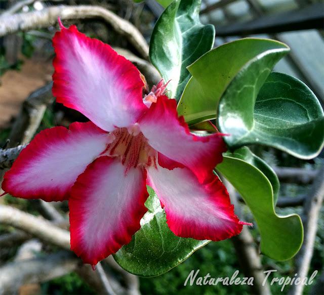 Variedad roja y blanca de las flores de la Rosa del Desierto, Adenium obesum