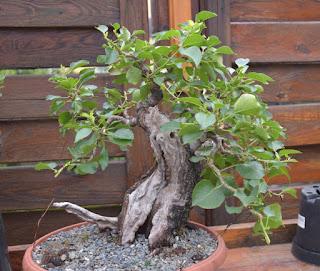Yamadori, Prunus mahaleb, pre-bonsai
