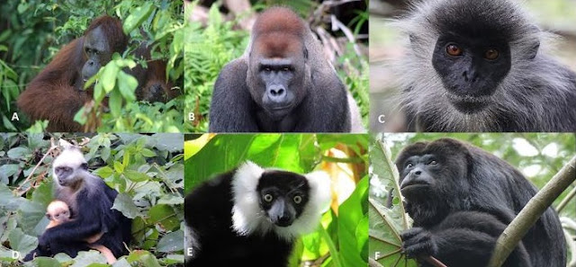 Global commodities trade and consumption place the world's primates at risk of extinction