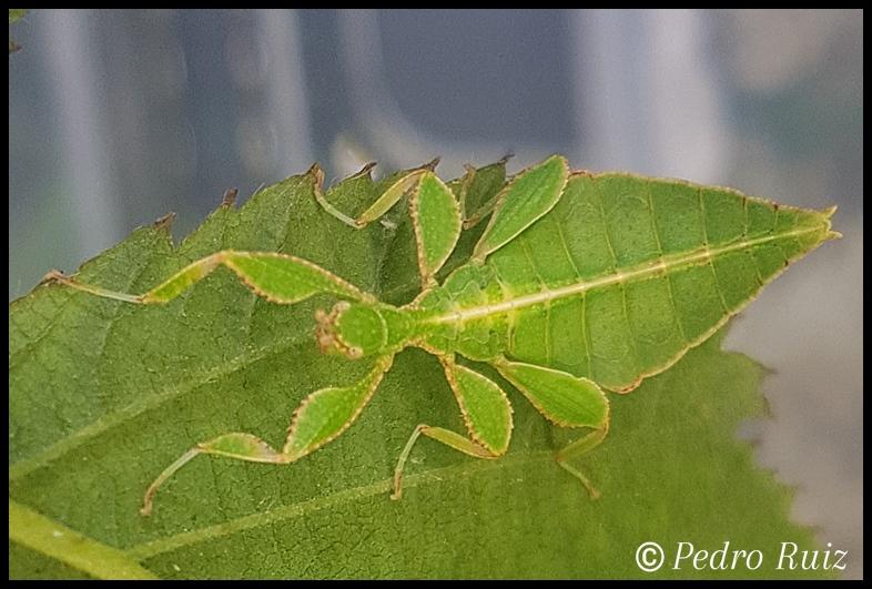 Ninfa macho L2 de Phyllium philippinicum, 2 cm de longitud