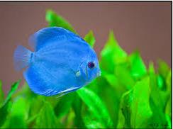 Profil Ikan Hias Diskus pakan untuk ikan hias