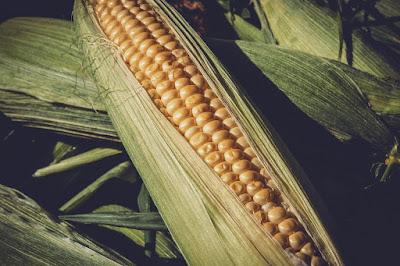 maize scheme