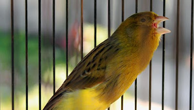 Tips Merawat Burung Murai Bakalan Agar Cepat Gacor