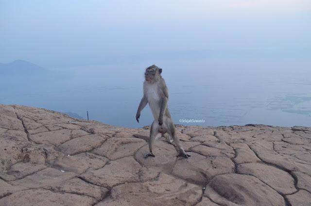 Monyet liar Gunung Lembu | JelajahSuwanto