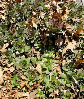 common houseleek, Sempervivum tectorum