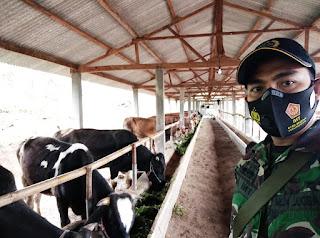 Program  1000 Sapi di Wilayah Teritorial Koramil  0820/09 Lumbang