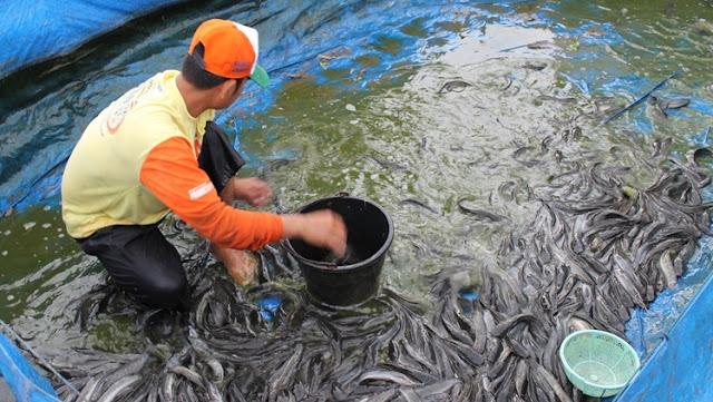 Panen Ikan Lele - Budidaya Ikan