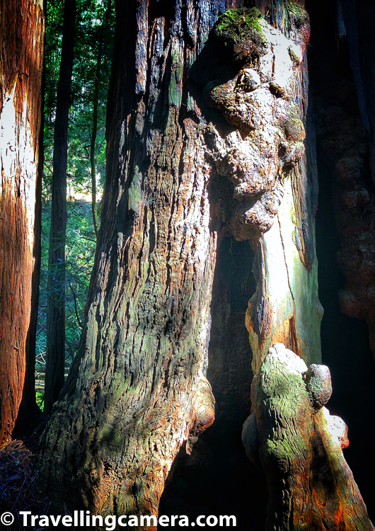 Base of some of these trees at Muir Woods are huge. The one that you see n above photograph can accommodate a human being inside the tree.      Related Blogpost - Road Trip from San Jose Airport to Point Reyes Lighthouse in California, USA