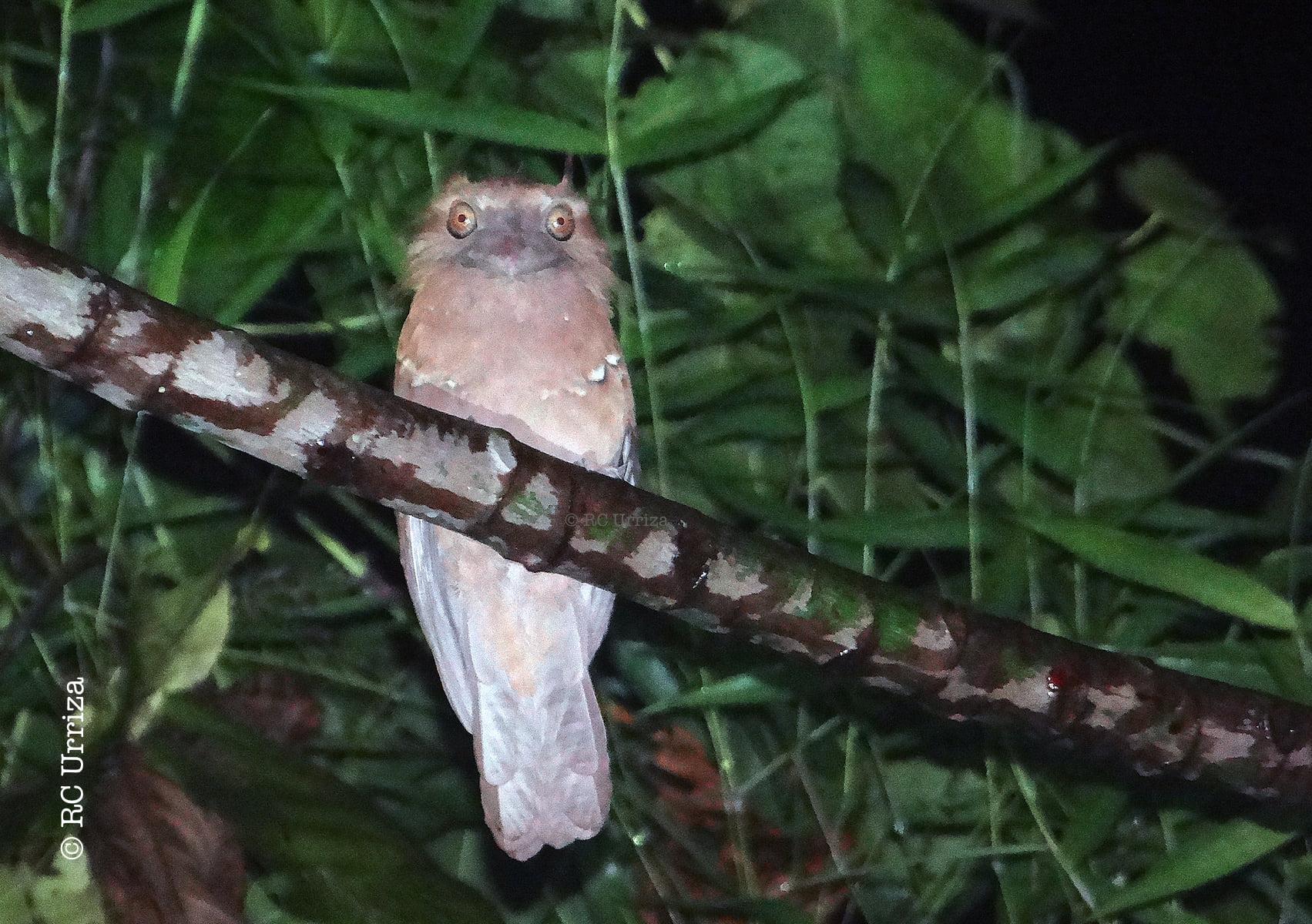Philippine Frogmouth Batrachostomus septimus microrhynchus