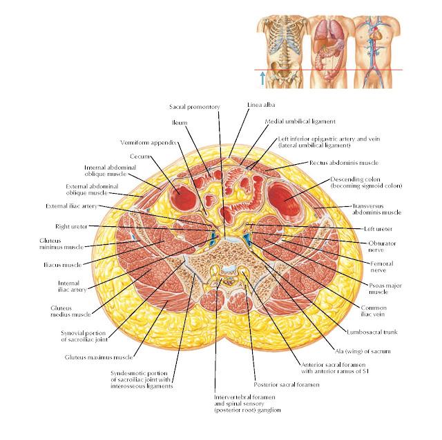 Transverse Section of Abdomen: Level of S1, Anterior Superior Iliac Spine Anatomy