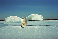 Snowy Owl catching a prey – Quebec – Apr. 2007 – Public Domain