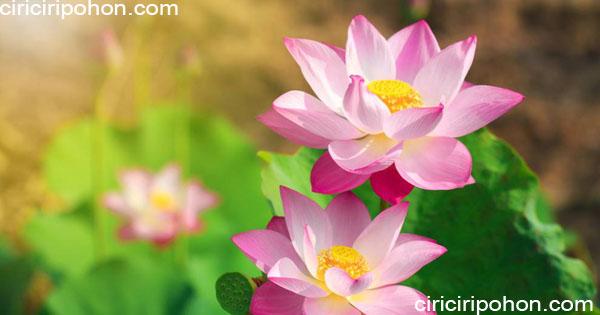 ciri ciri pohon bunga lotus