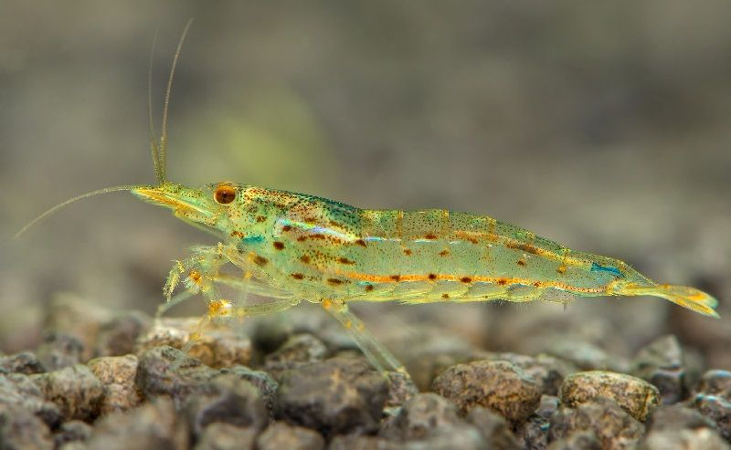 Gambar Teman Untuk Satu Akuarium Dengan Udang Red Cherry Shrimp-udang amano