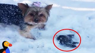 Собака заметила в снегу что-то замерзшее. Дальше находка превращается в настоящую спасательную операцию! Видео
