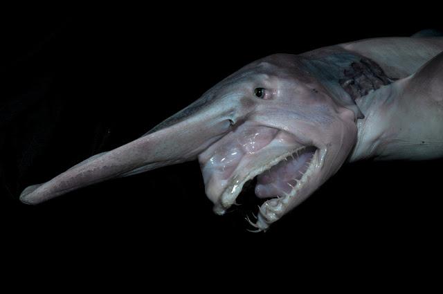 Goblin shark atau hiu shark hewan aneh di dunia