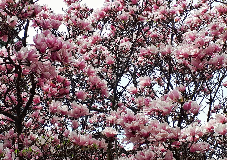 Magnolie w Cieszynie