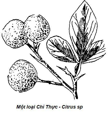 Hình vẽ Một loại Chỉ Thực - Citrus sp - Nguyên liệu làm thuốc Chữa Bệnh Tiêu Hóa