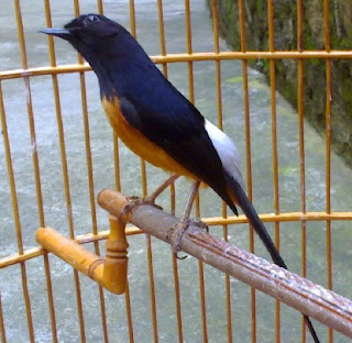 cara merawat burung,om kicau murai batu juara,kicau burung murai batu,batu ekor hitam,batu hutan,betina,batu gacor,download suara burung murai batu juara durasi panjang,