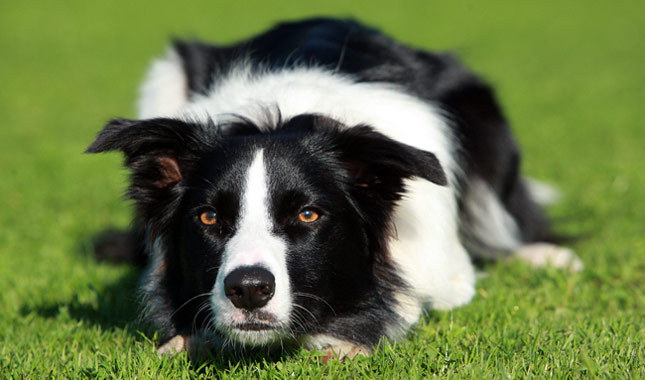Opinion border collies mature victoria australia opinion