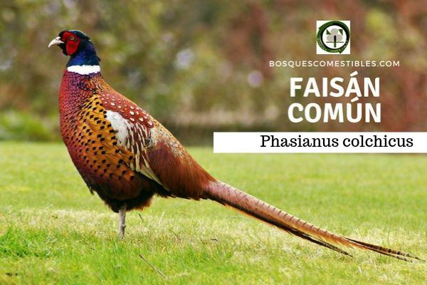 El faisán común, es un ave que fue introducido en los bosques de Europa hace más de 2000 años por Grecia