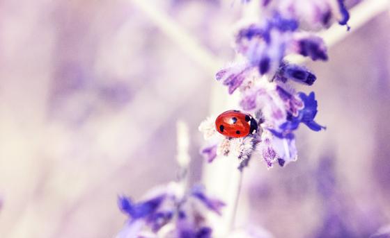 Purple flower with a ladybird