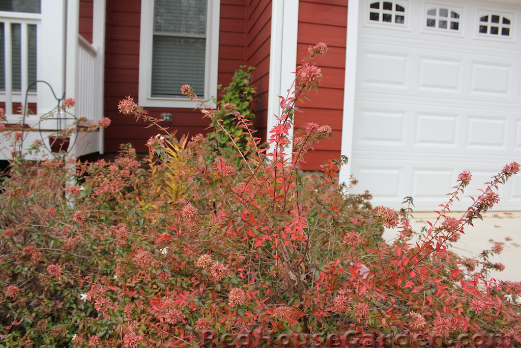 Red House Garden Ode To Abelia