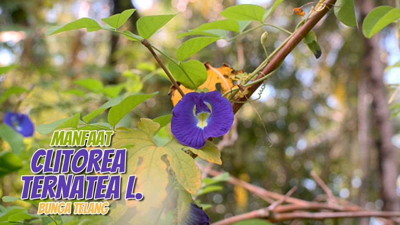 memang memiliki berbagai manfaat bagi kesehatan Penelitian Membuktikan Manfaat Bunga Telang bagi Kesehatan Manusia