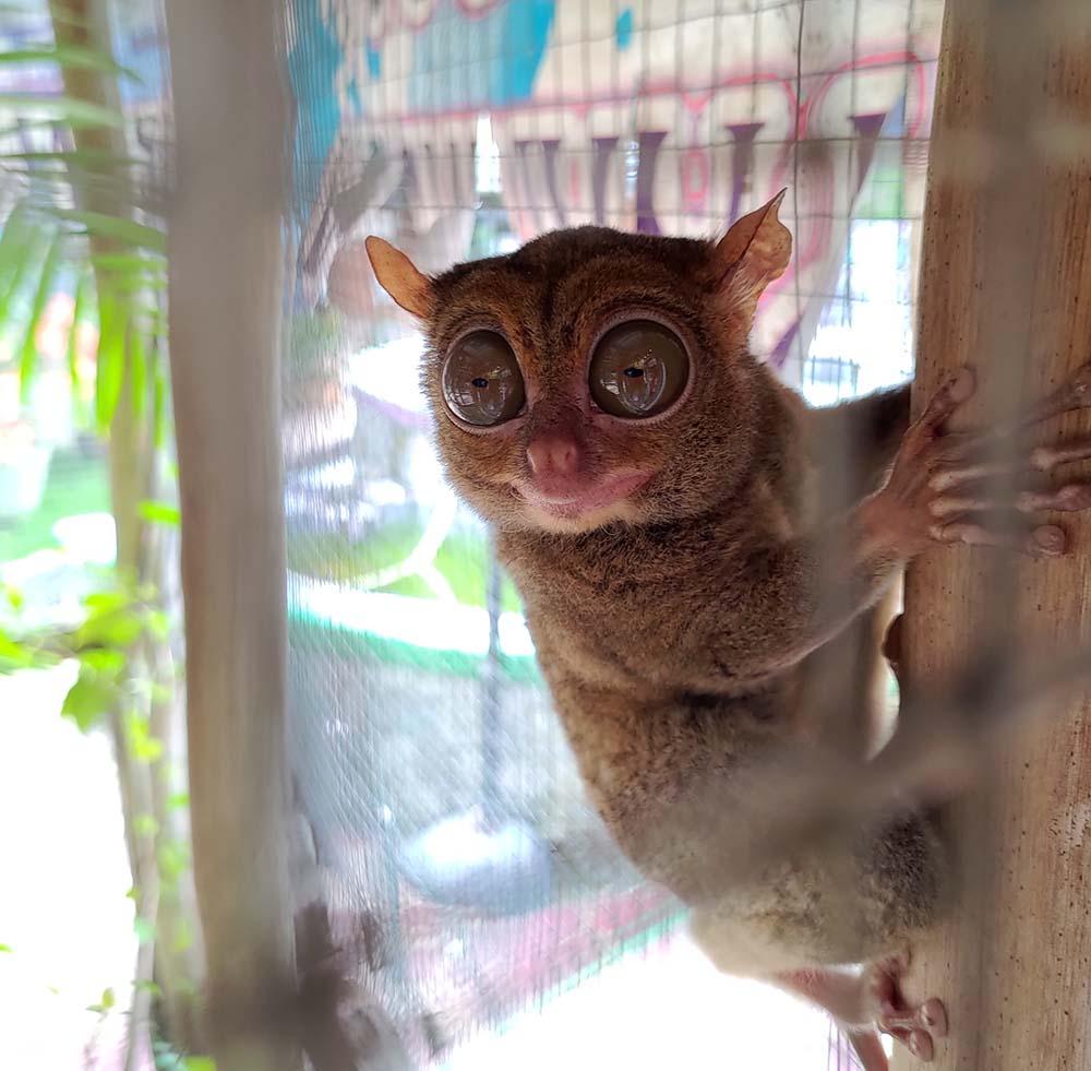 Ketemu Tarsius, Hewan Langka dan Unik di Belitung Timur, tarsius belitung tour  tarsius tarsier  manfaat tarsius  tarsier belitung  tarsius endangered  jual tarsius