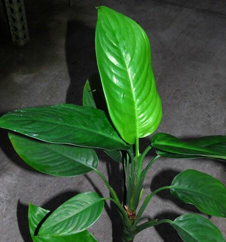 Especie Aglaonema hookerianum